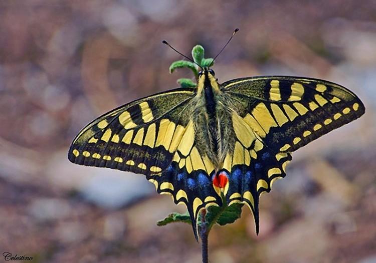 Outros/Papilio machaon