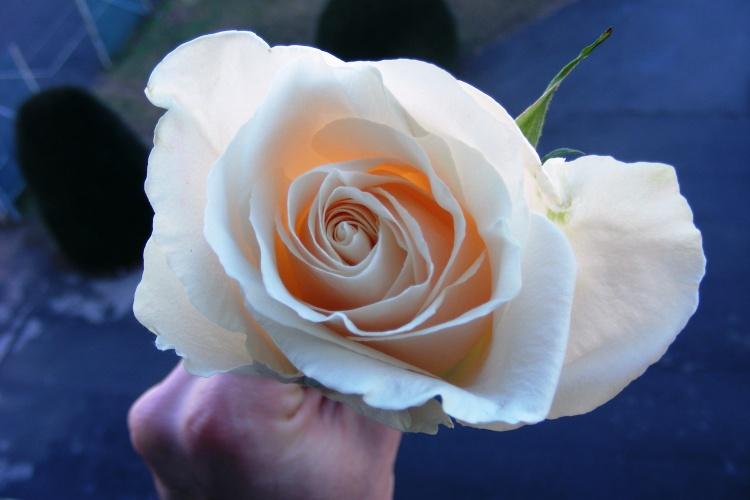 Paisagem Natural/Uma rosa, para a mais bela das Rosas