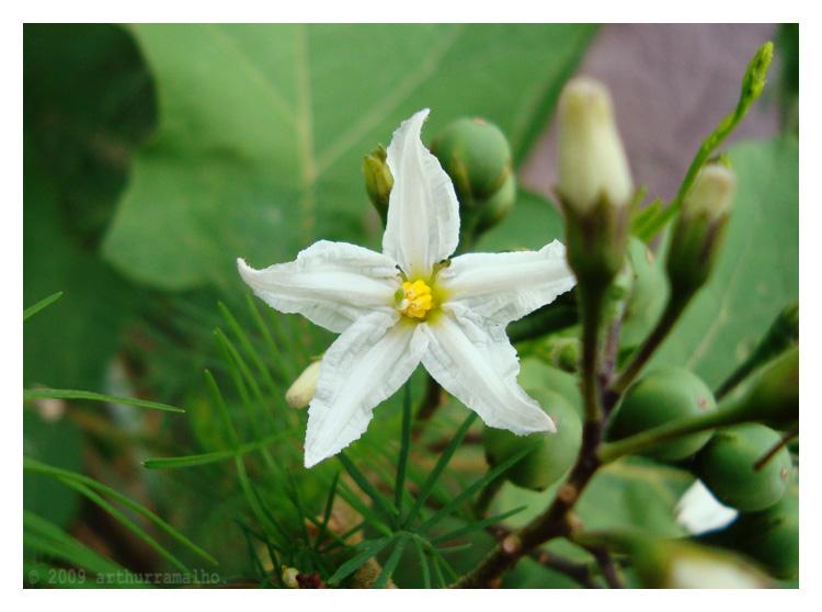 Macro/Flor de Jurubeba