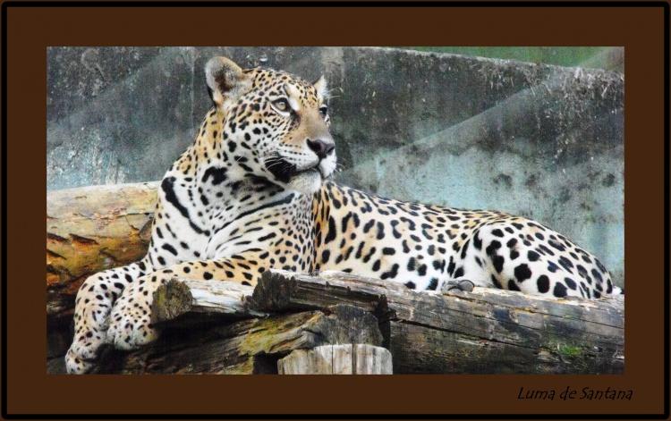 Animais/Onça Pintada - Está em extinção