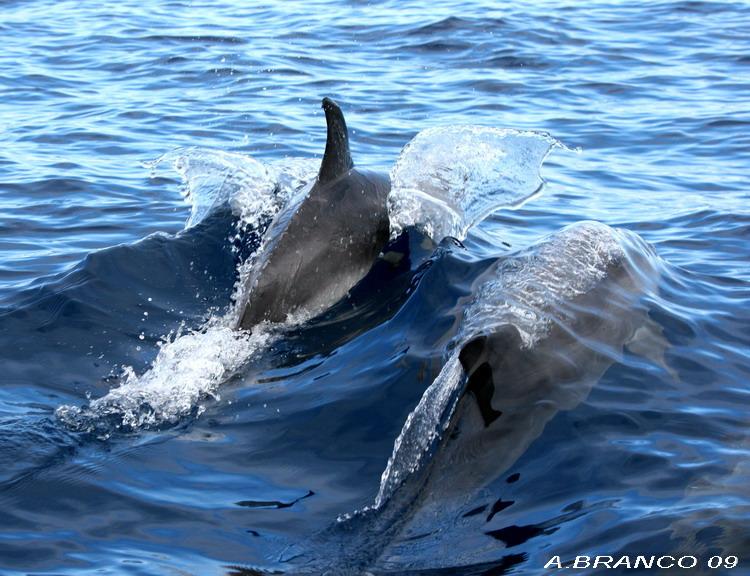 Animais/golfinho pintado