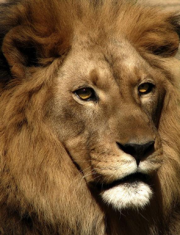 Animais/Leão!!!