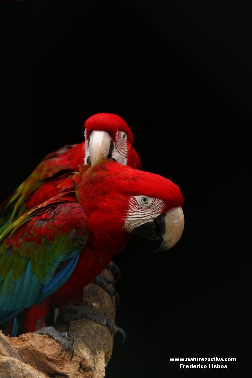 Animais/Araras chloropteras na hora do mimo :P