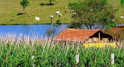 Paisagem Natural/Plantação de tomate