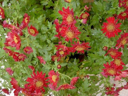 Outros/Crisantemos vermelhos