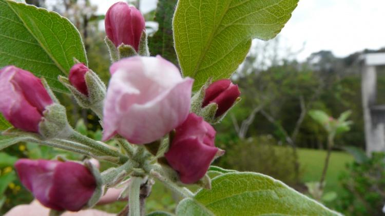 Outros/pé de maça em flor