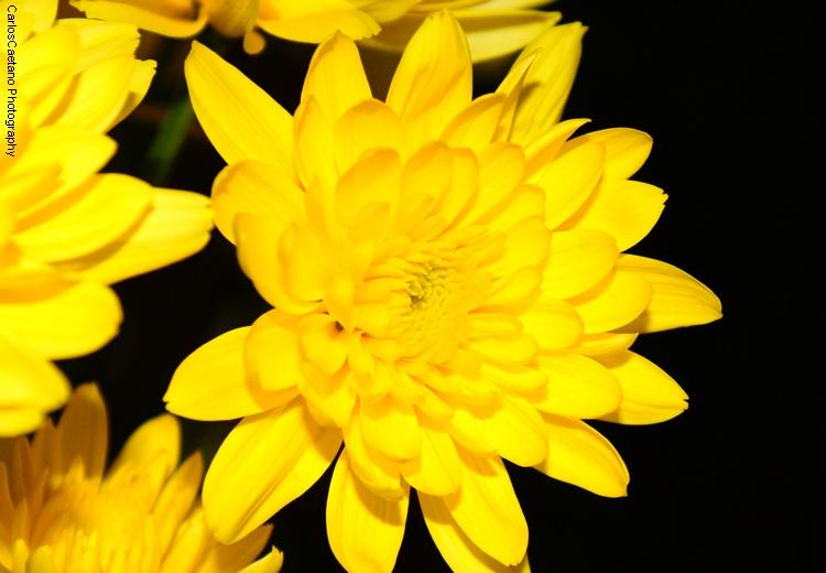 Macro/Yellow (Flower #5)