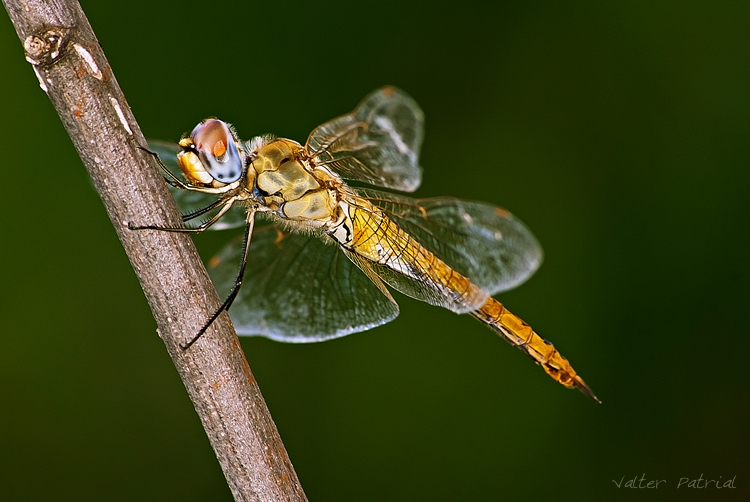 Macro/Golden Dragonfly