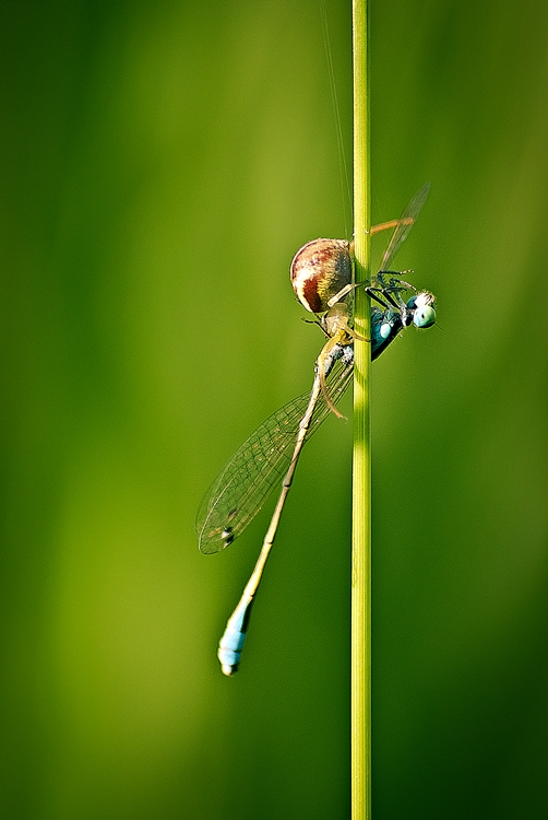 Macro/Spider X Dragonfly