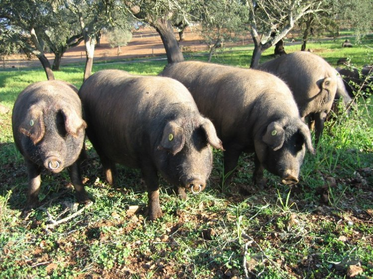 Animais/Vara de porco preto no montado alentejano