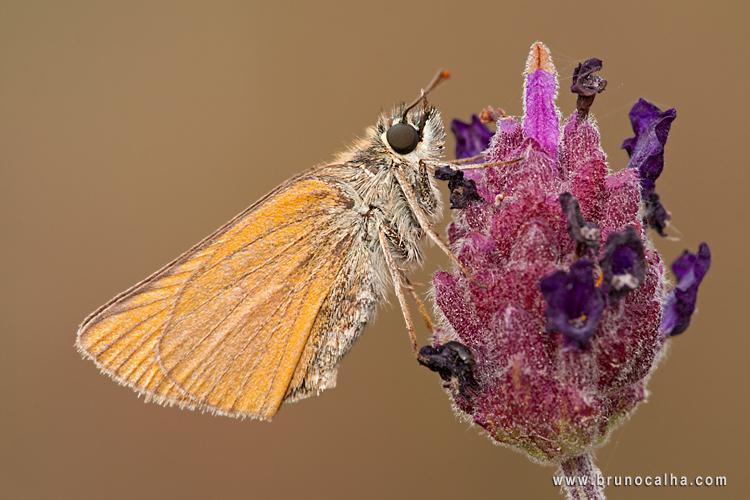 Macro/Thymellicus Sylvestris