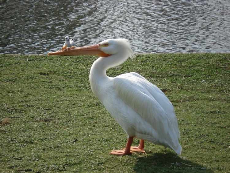 Animais/Pelicano e seu filhote