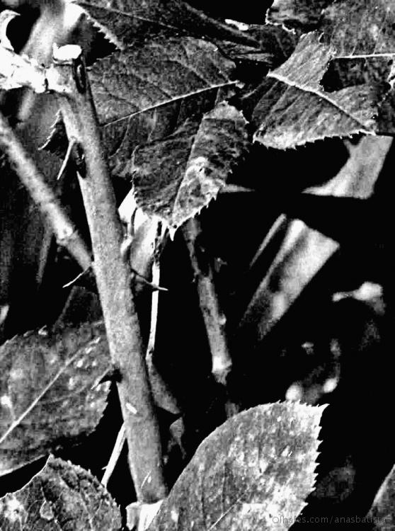 Abstrato/Não há rosas sem espinhos...