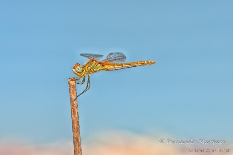Macro/libélula
