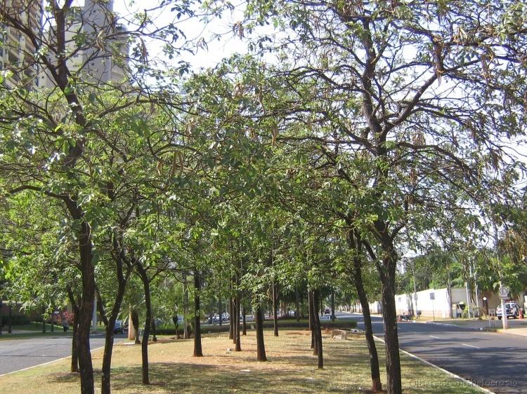 Paisagem Urbana/AS ARVORES NA AVENIDA