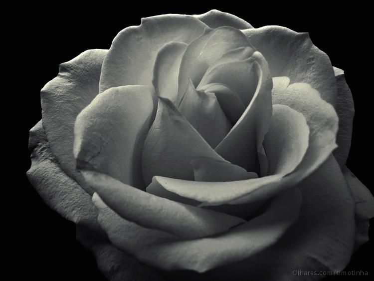 Macro/Uma simples rosa