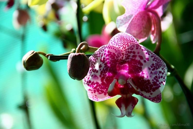 Macro/Orquídea XIX