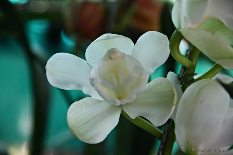 Outros/Orquídea XXI