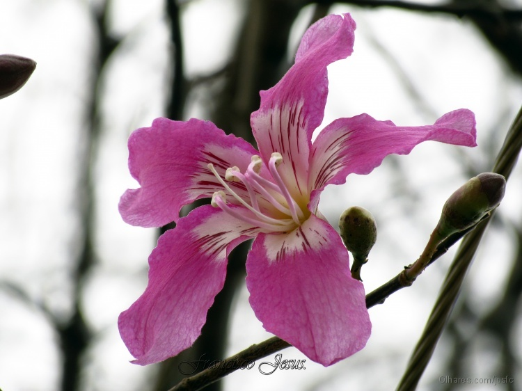 Outros/Flor de Barriguda