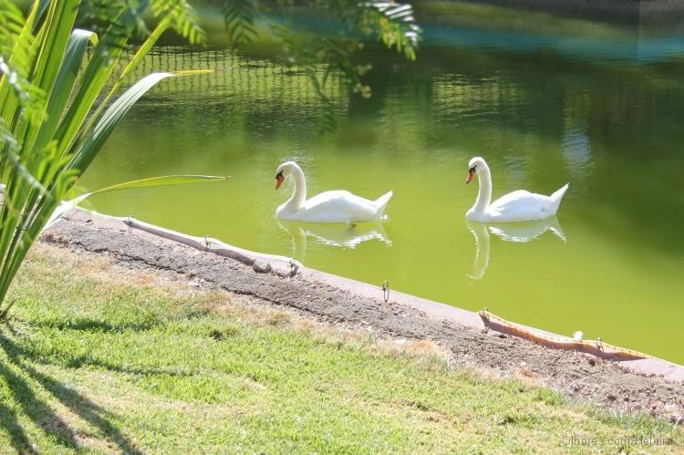 Outros/cisnes