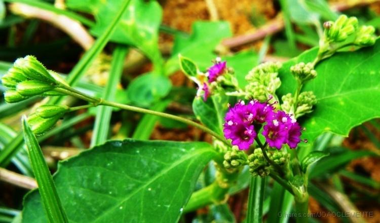 Macro/Flores do Pega pinto...
