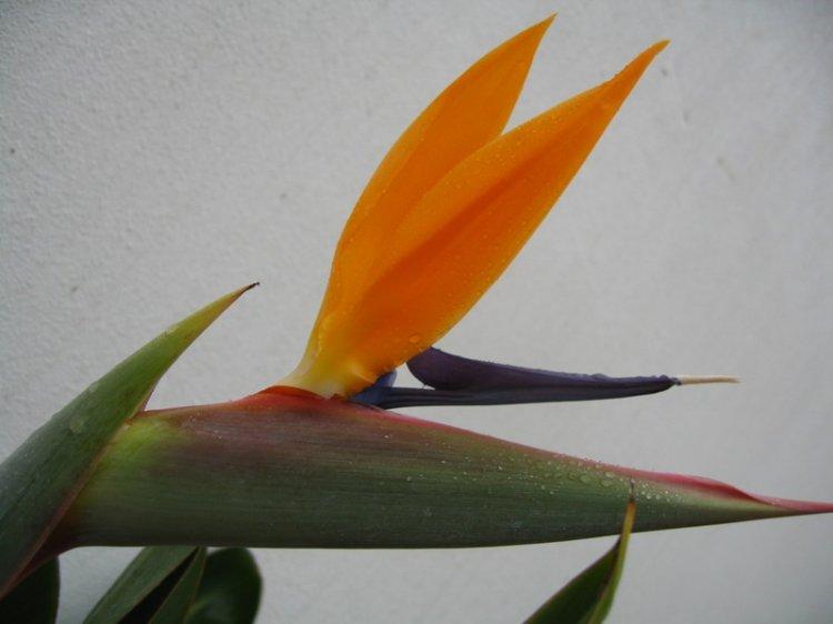 Macro/Estrelícia em flor
