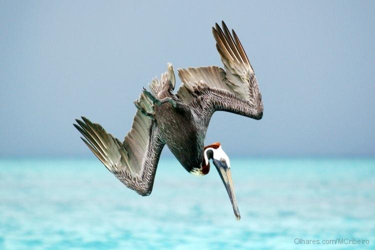 Animais/Voo do pelicano