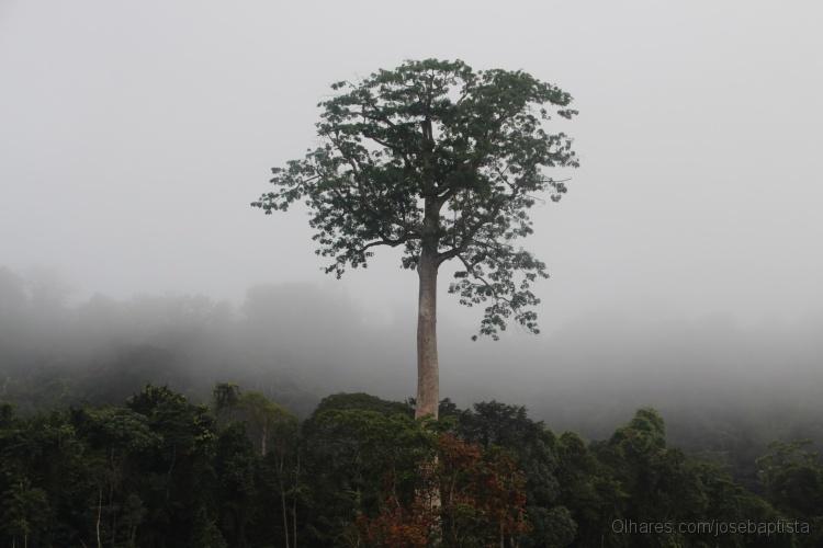 Imponente árvore