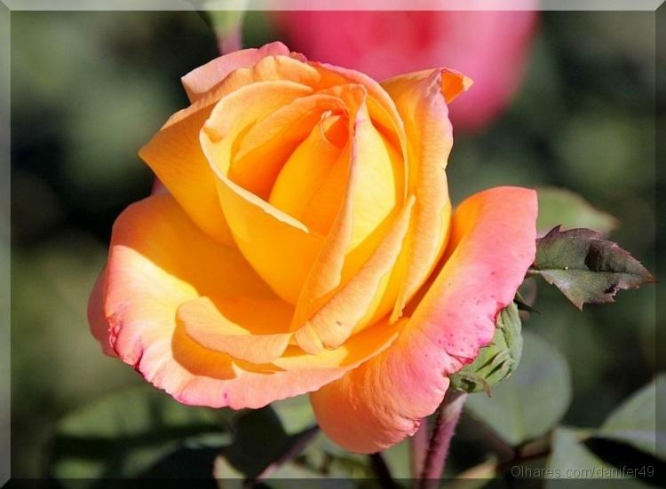 Macro/Mais uma rosa do meu jardim