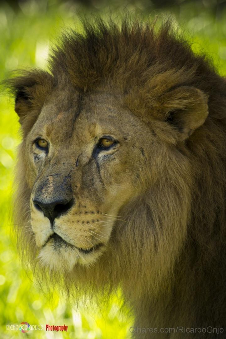 Animais/The Lion