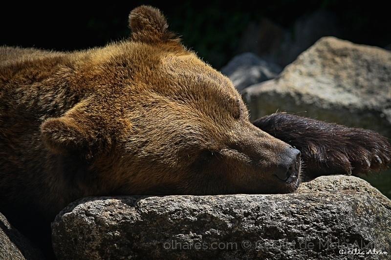 Animais/Urso Pardo