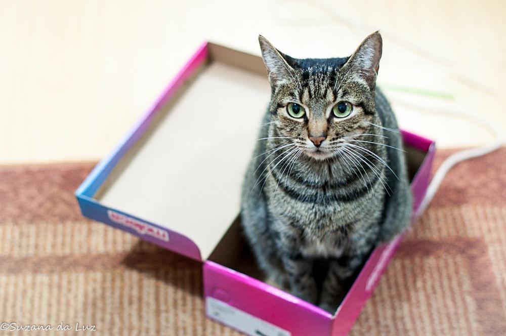 Animais/gato x caixa