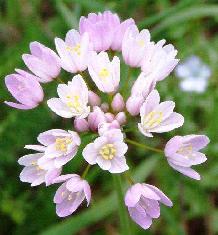 Macro/ Pequenas flores do alho francês campestre.