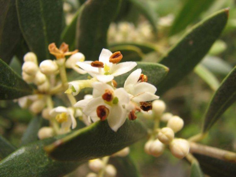 Outros/flor de oliveira