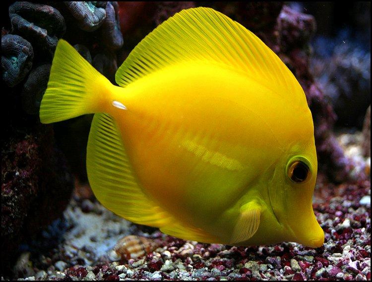 Animais/|Peixe-Cirurgião II|