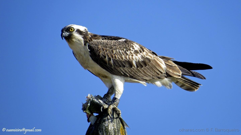 Animais/Águia-pesqueira/Pandion haliaetus (Ver descrição)