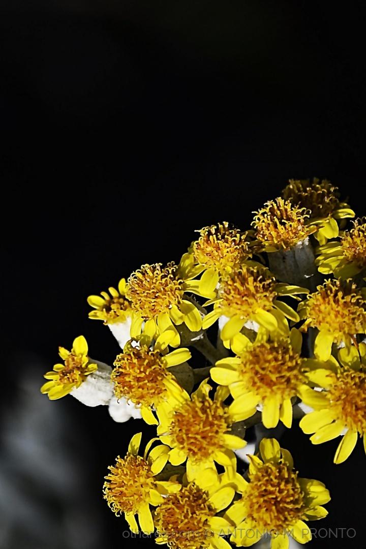 Macro/Flores amarelas