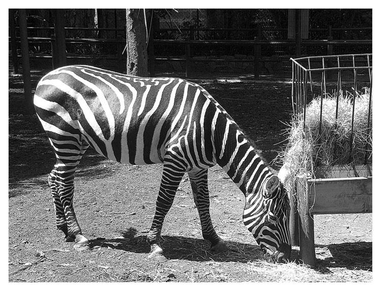 Animais/Zebra