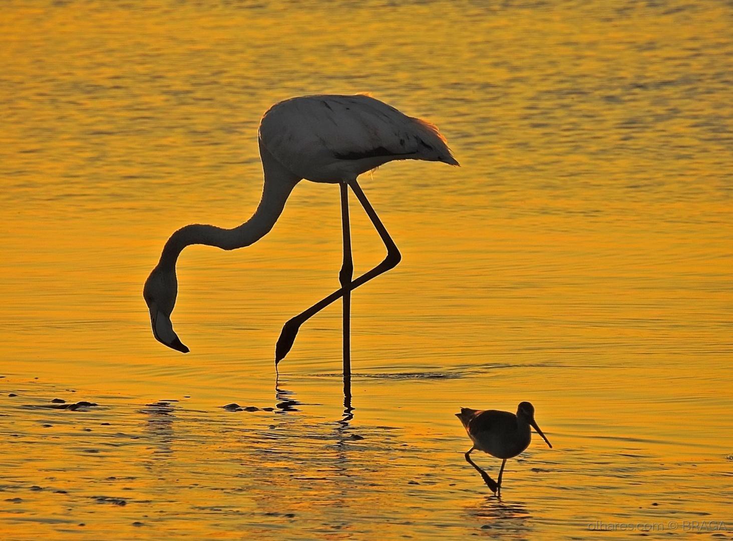 Animais/Flamingo ao Auroral (Nascer do Sol)
