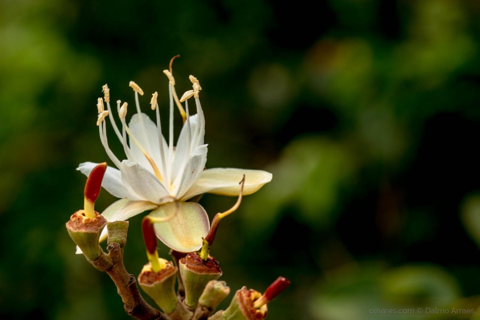 Resultado de imagem para A flor do Jatobá