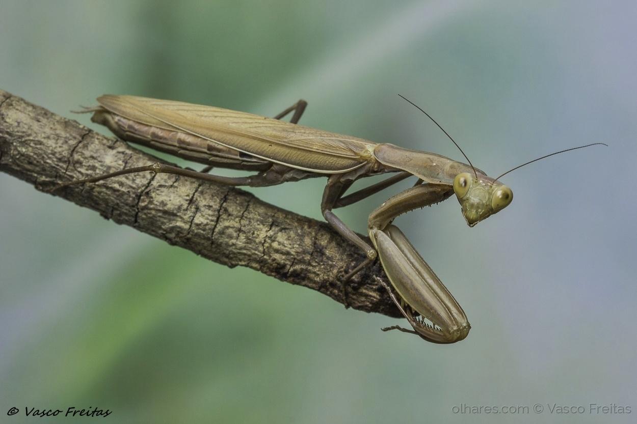 Macro/Mantis