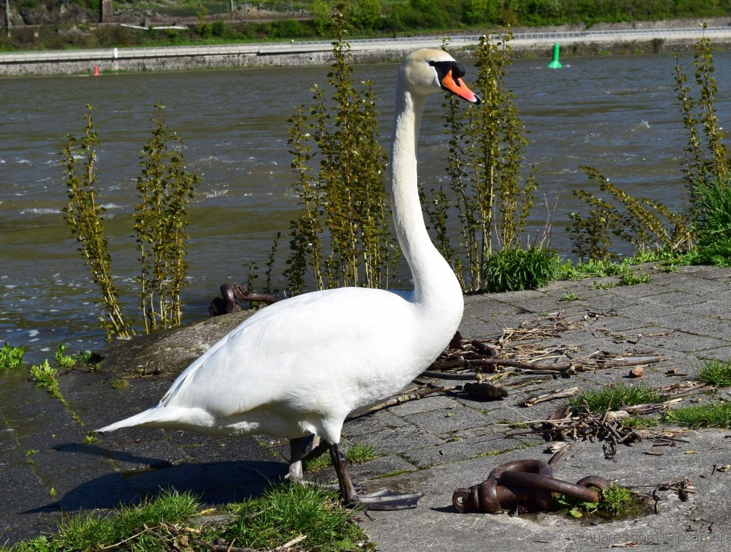 Animais/o cisne