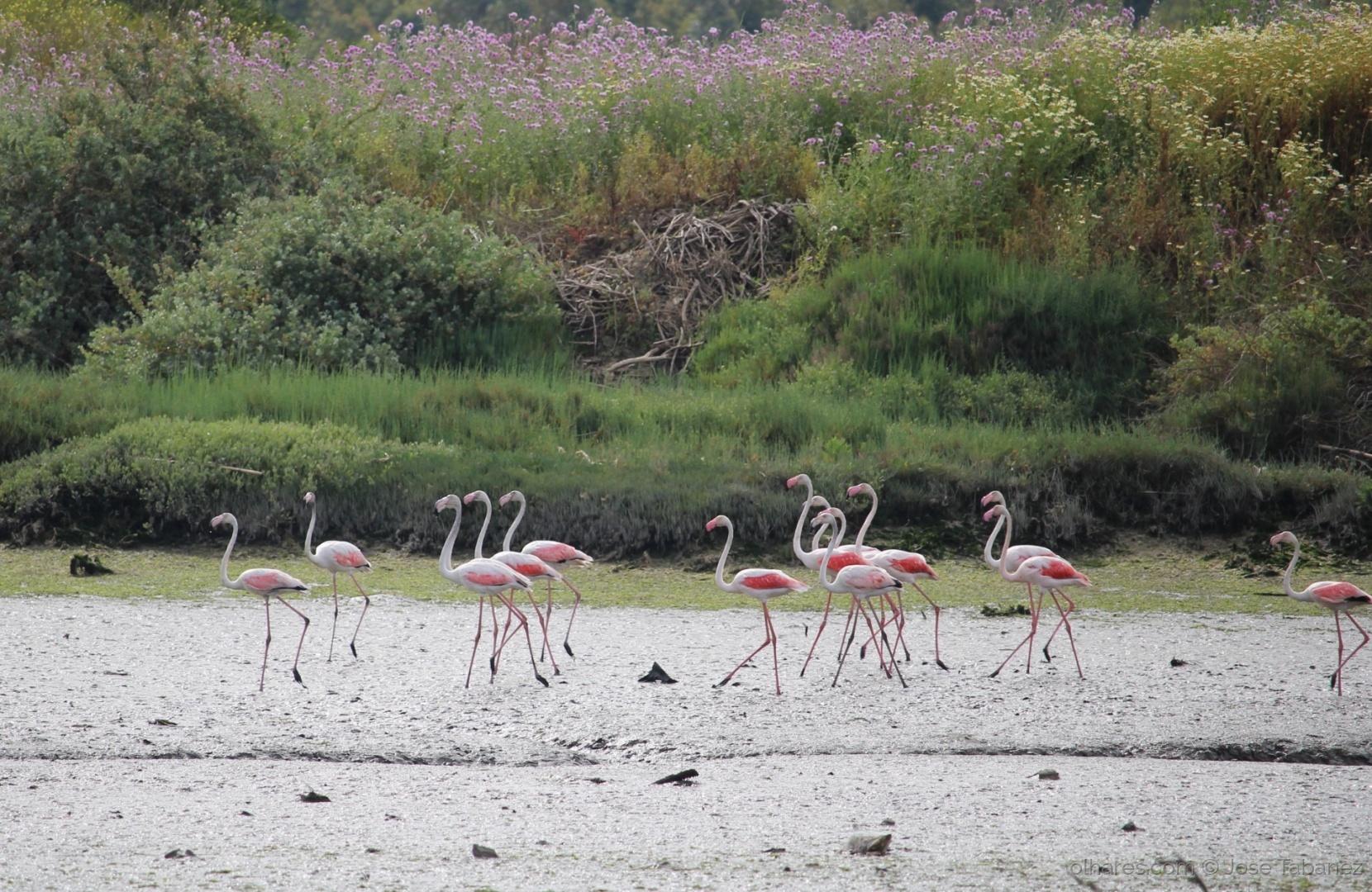 Animais/Flamingos em passeio