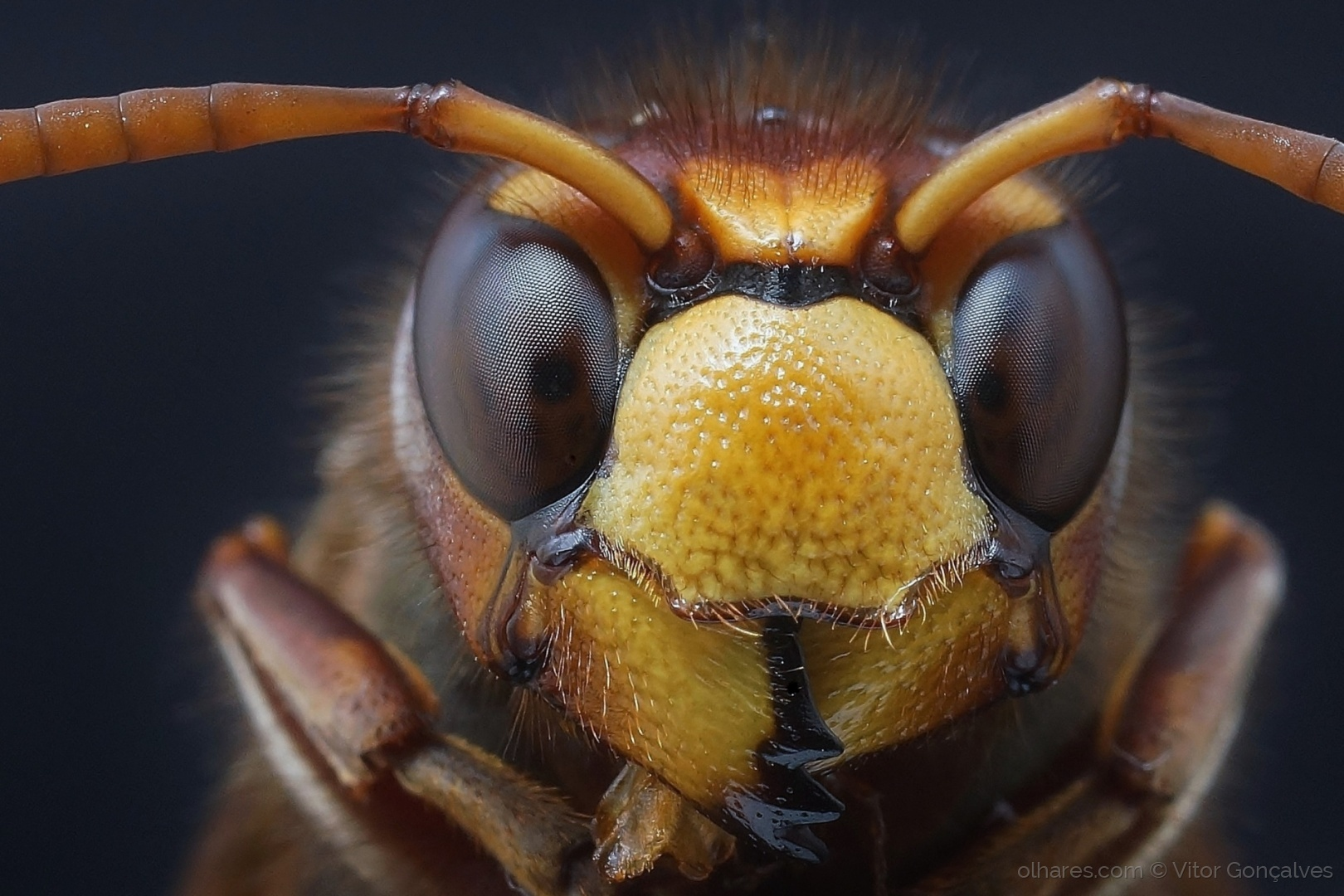 Macro/vespa crabro