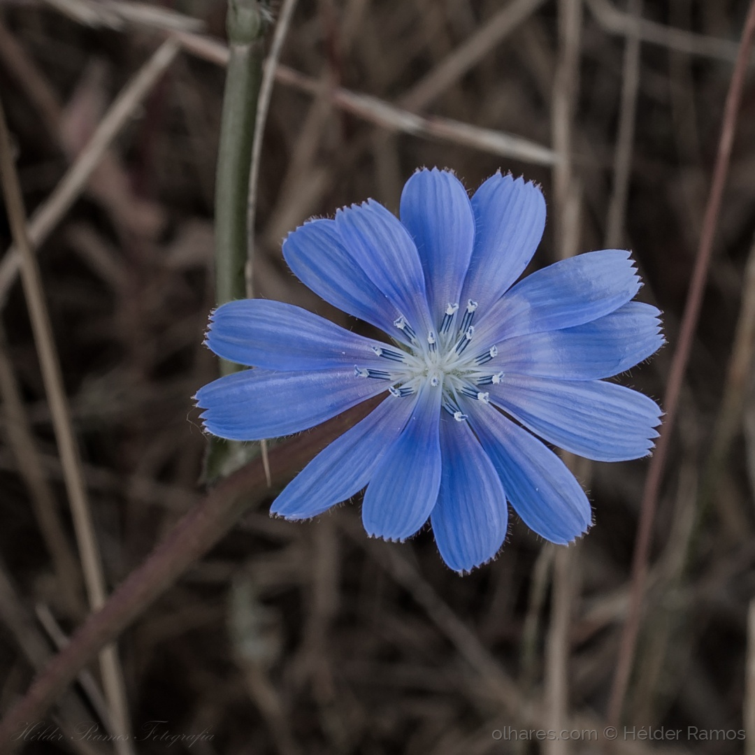 Macro/Flor do campo alentejano