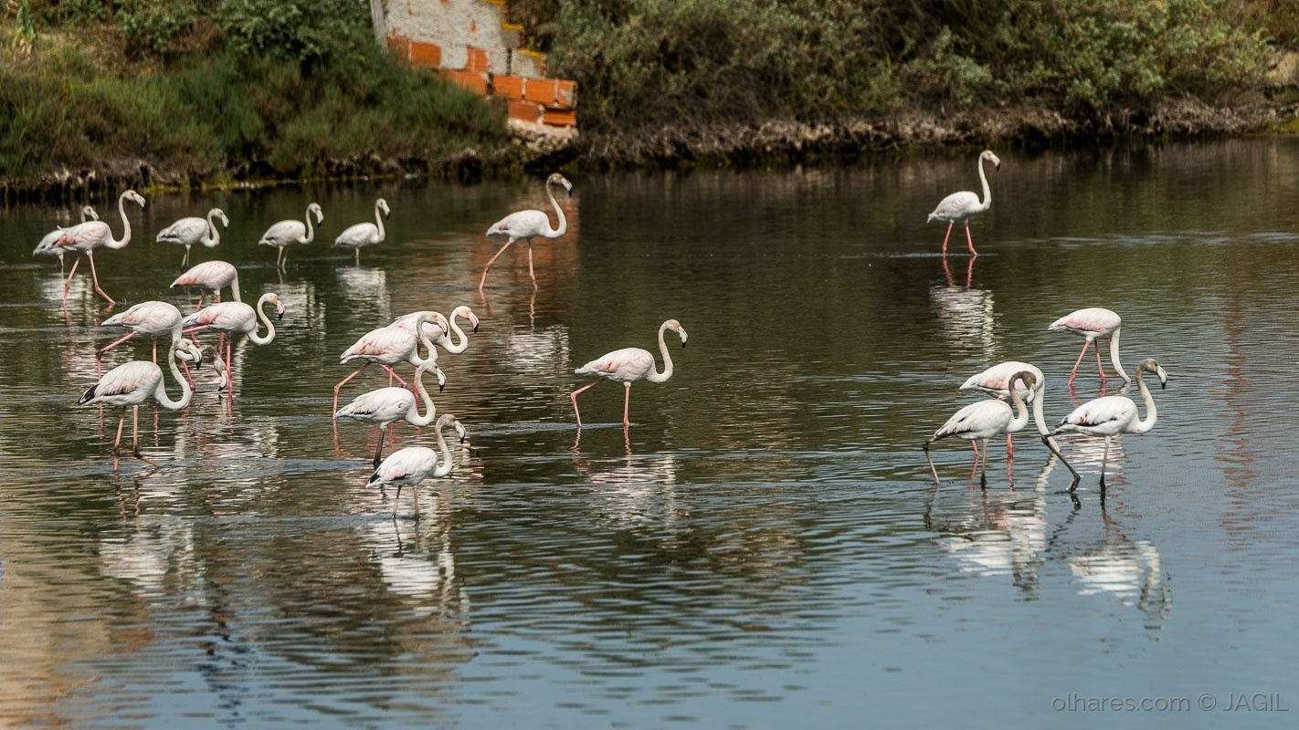 Animais/Flamingos no Tejo