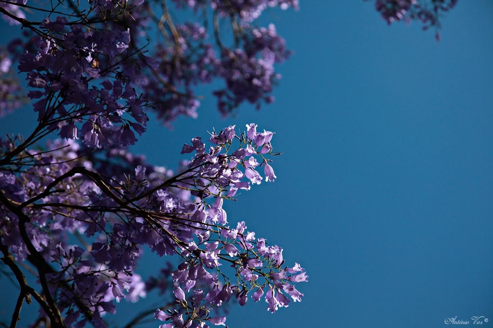 Paisagem Natural/Jacaranda mimosifolia
