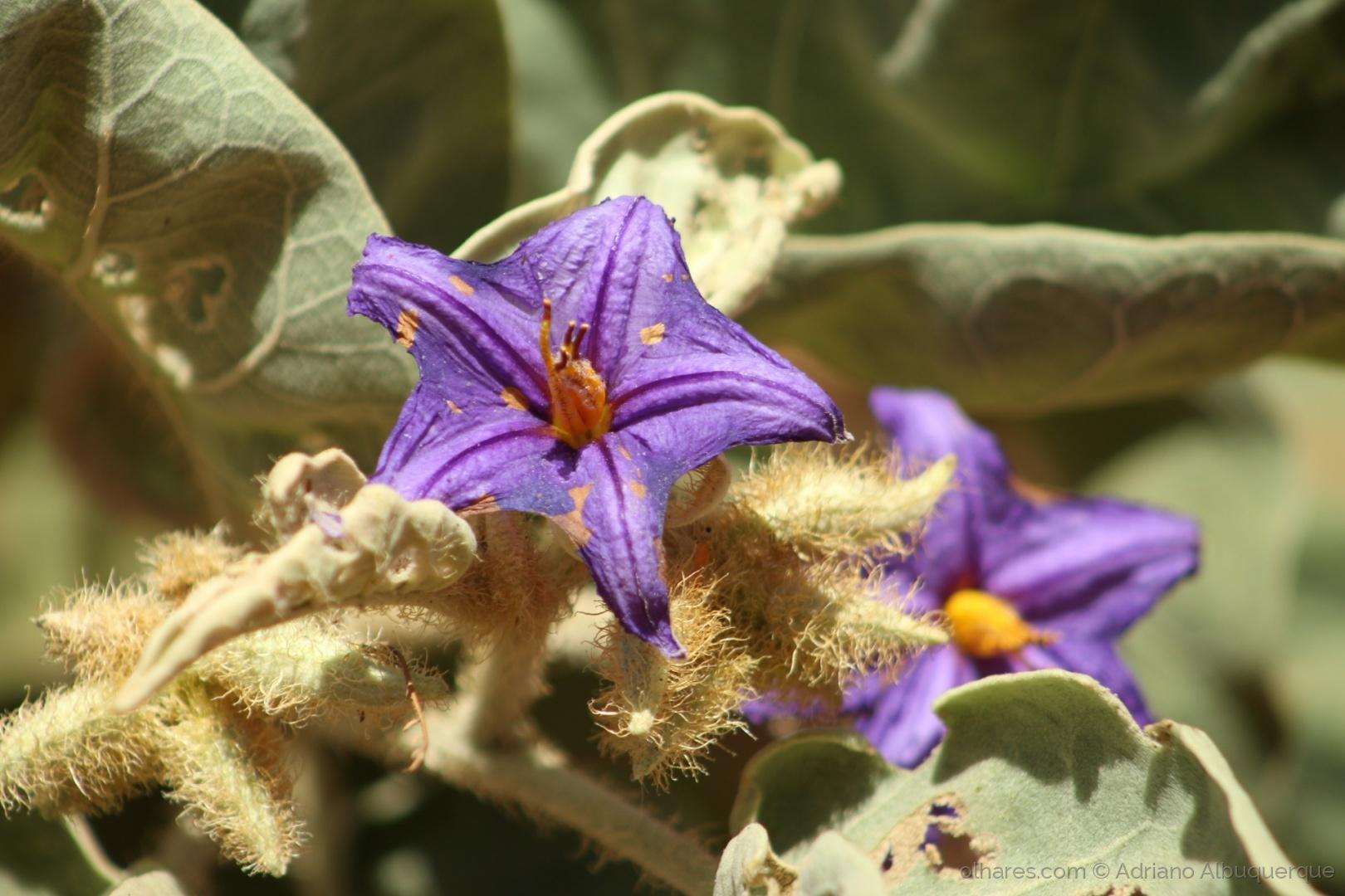 Paisagem Natural/Flor da Lobeira