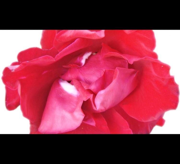 Arte Digital/Rosa maculada