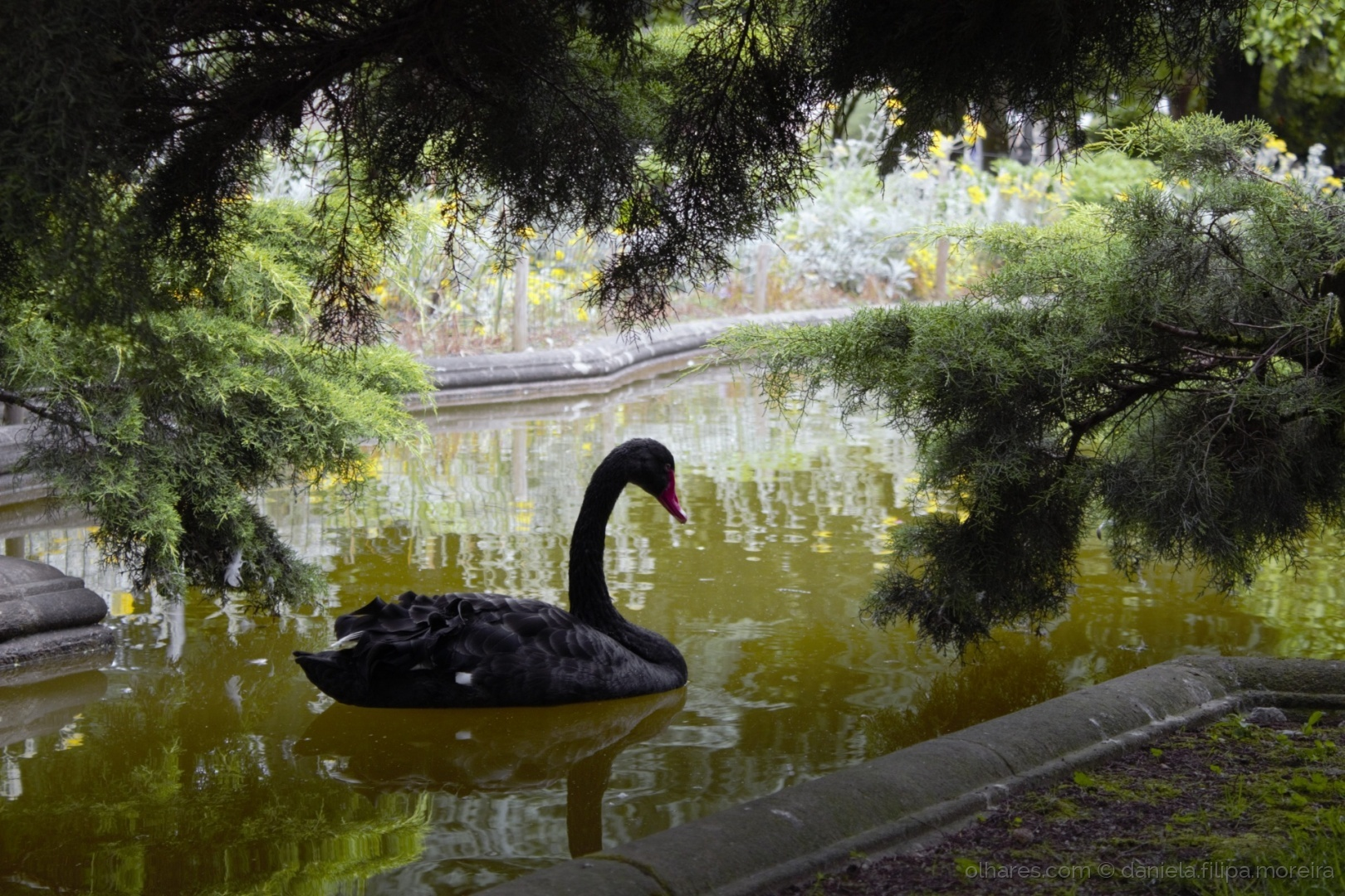 Abstrato/Black Swan